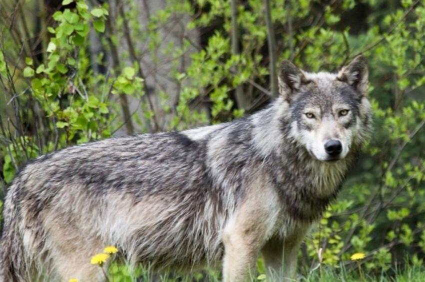 """""""Attenti al lupo"""": un giovane esemplare segue una bambina e le strappa il vestito"""